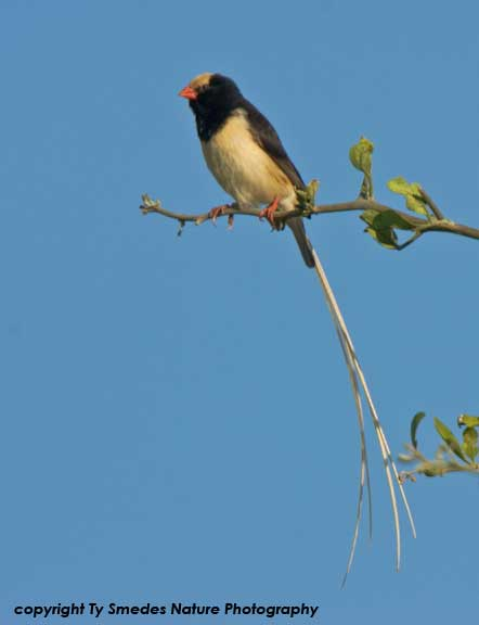 Straw-tailed Whydah, Serengeti National Park,Tanzania