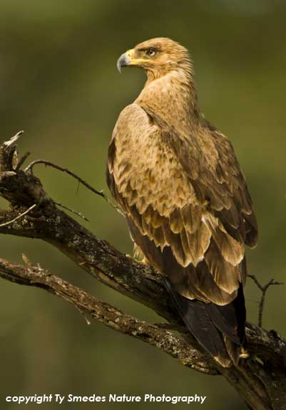 Tawny Eagle (light phase) in Serengeti National Park, Tanzania