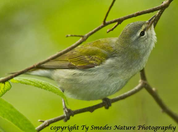 Tennessee Warbler - male catching an insect