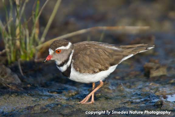 Three-banded Plover, Serengeti National Park, Tanzania