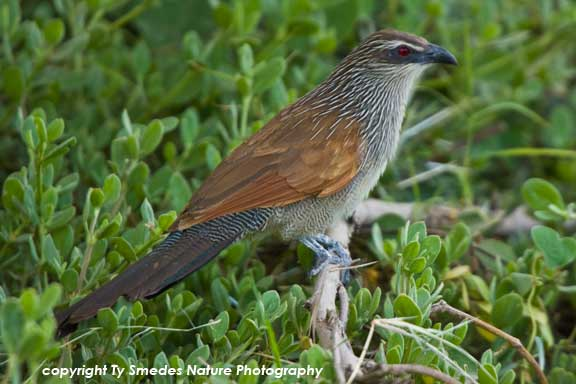 White-browed Coucal, Amboseli National Park, Kenya