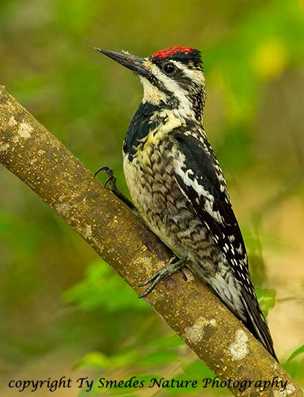 Yellow-bellied Sapsucker - female