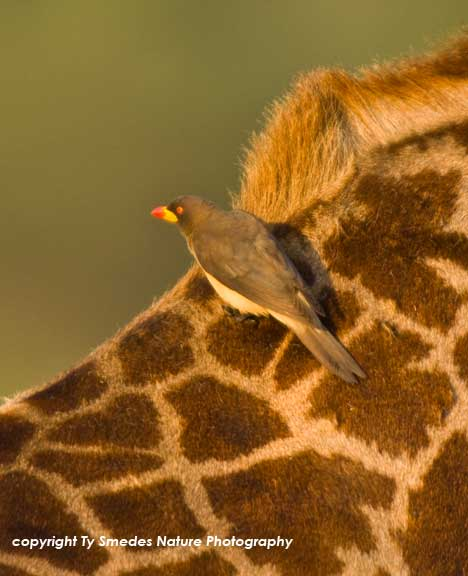 Yellow-billed Oxpecker on giraffe's back, Serengeti National Park,Tanzania