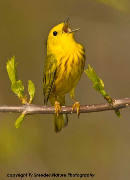 Yellow Warbler Singing