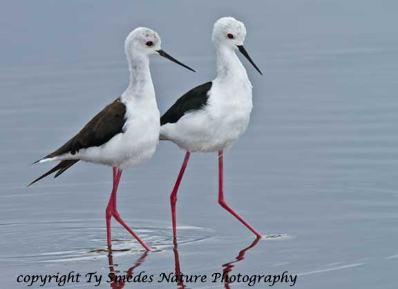 Black-Winged Stilt pair, Lake Masek, Tanzania