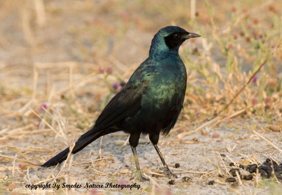 Burchell's Starling, Chobe National Park, Botswana