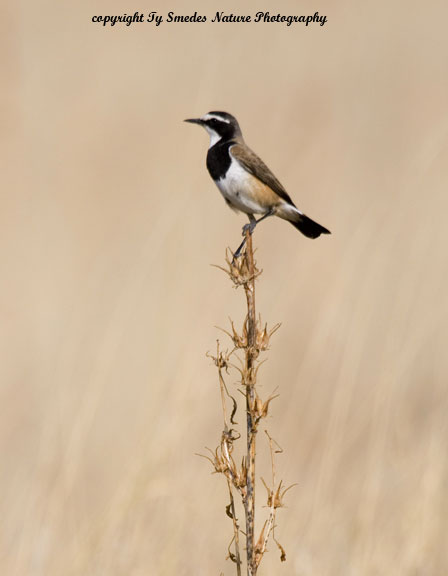 Capped Wheatear, Chobe National Park, Botswana