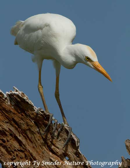 Cattle Egret, Tarangirie National Park, Tanzania