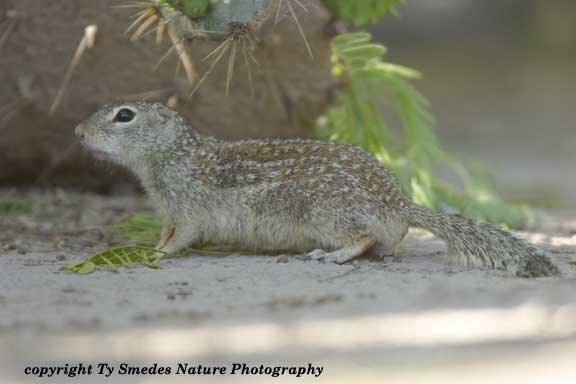 Mexican Ground Squirrel in south Texas