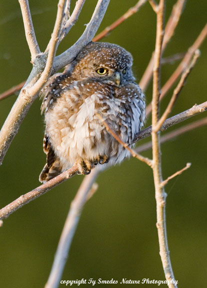 Pearl-Spotted Owlette, Chobe National Park, Botswana