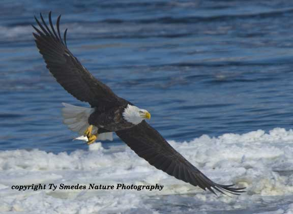Bald Eagle with Gizzard Shad