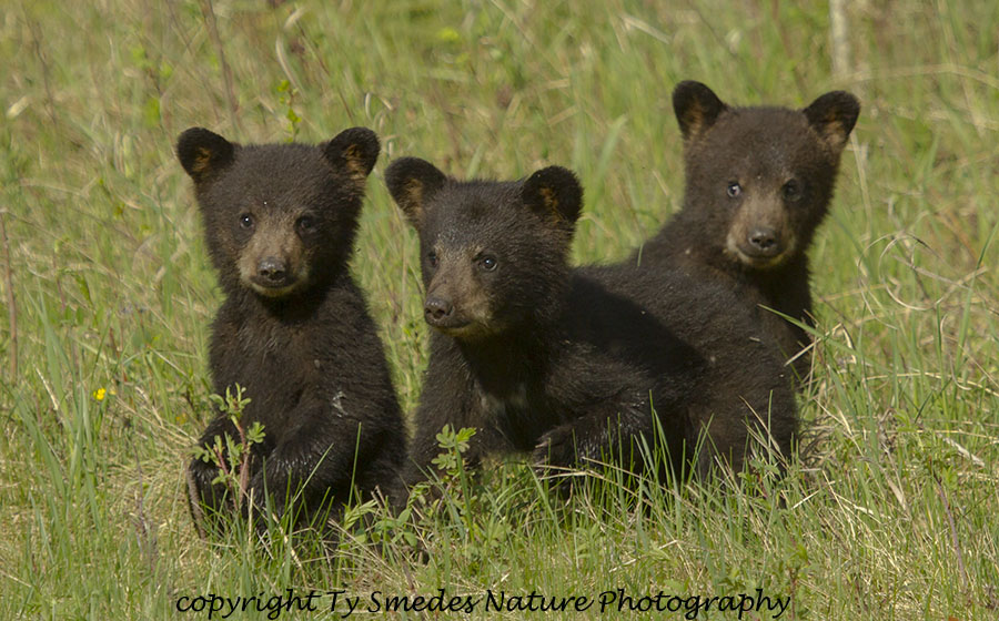 Three Bear cubs