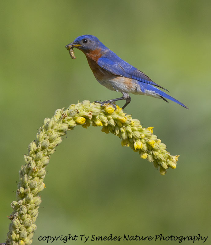 Male Eastern Bluebird with Larvae