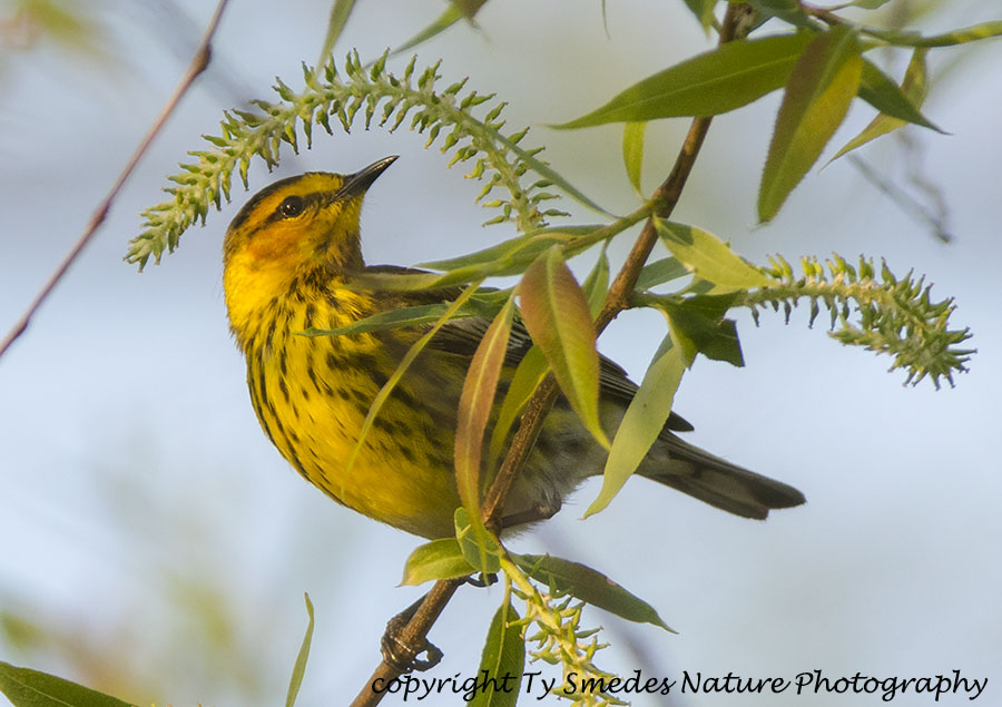 Cape May Warbler searching for insects