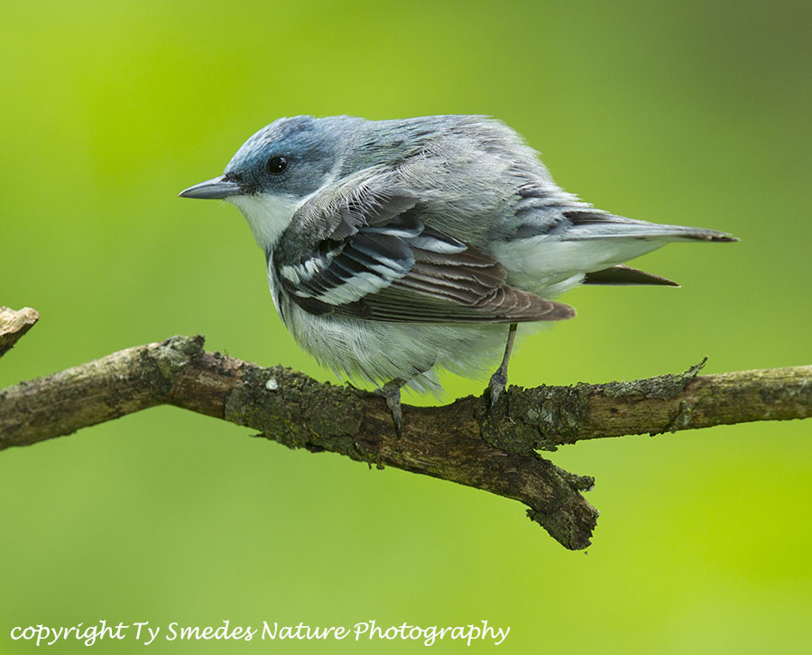 Cerulean Warbler male ruffling his feathers