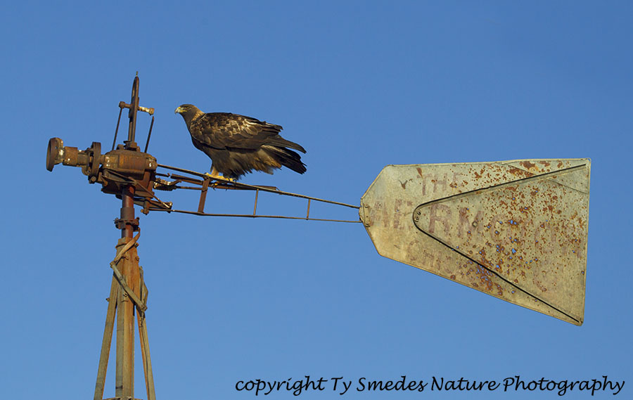 Golden Eagle sitting on an old windmill