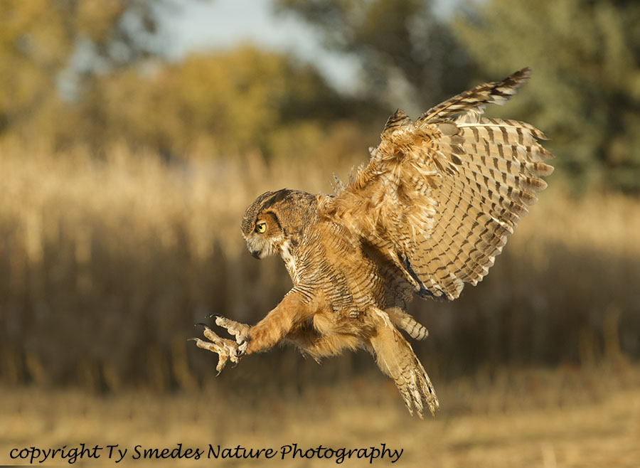 Great-horned Owl diving at Prey