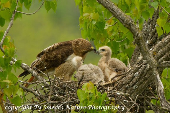 Red-tailed Hawk Nest with young