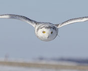 Snowy Owl Hovering above Prey