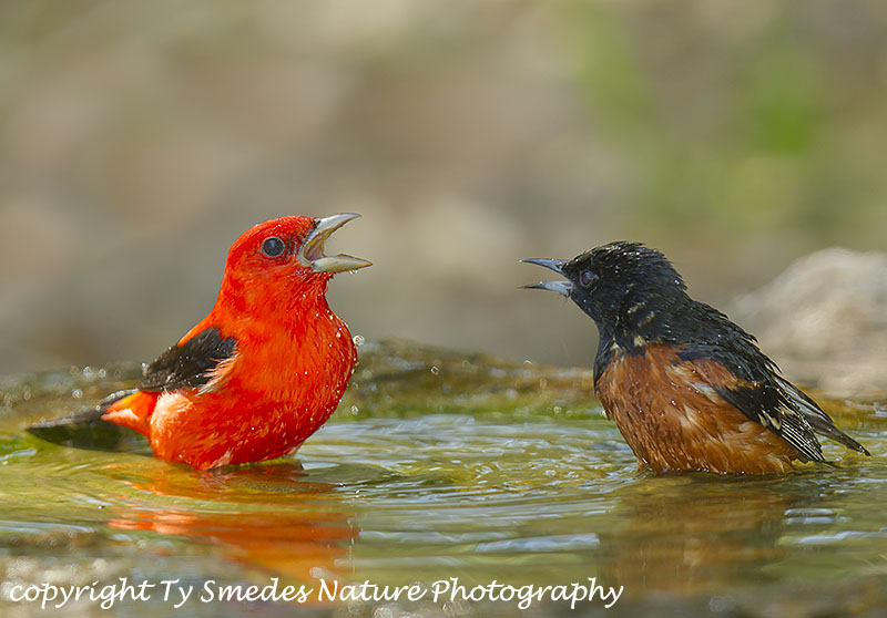 A Scarlet Tanger and an Orchard Oriole face-off