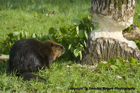 Beaver and tree that is being felled