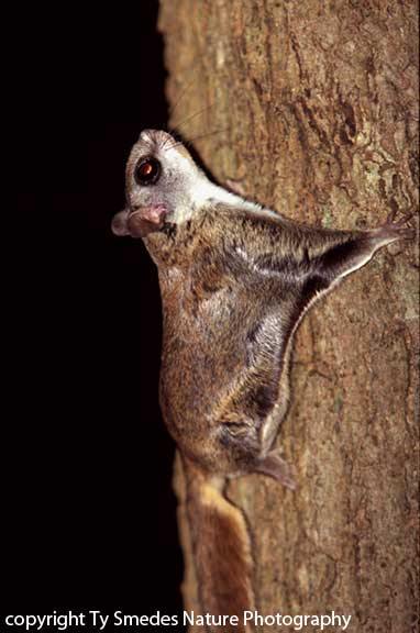 Flying Squirrel (Southern)