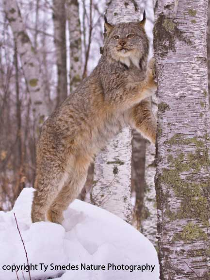 Canadian Lynx in winter snow