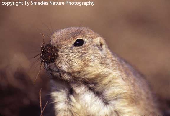 Prairie Dog with mud on nose