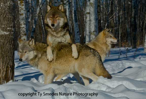 Trio of Gray Timber Wolves in deep snow