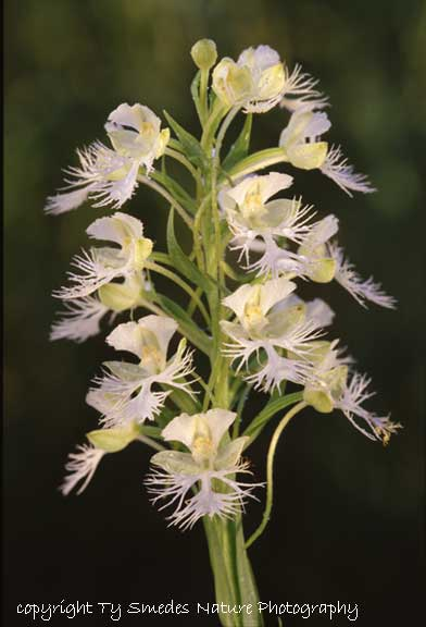 Western Prairie Fringed Orchid