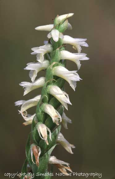 Spiranthes (Magnicamporum), central Iowa