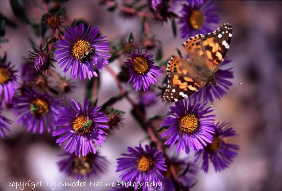New England Aster and Painted Lady Butterfly