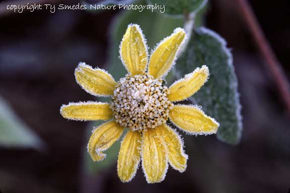 Woodland Sunflower and 1st frost